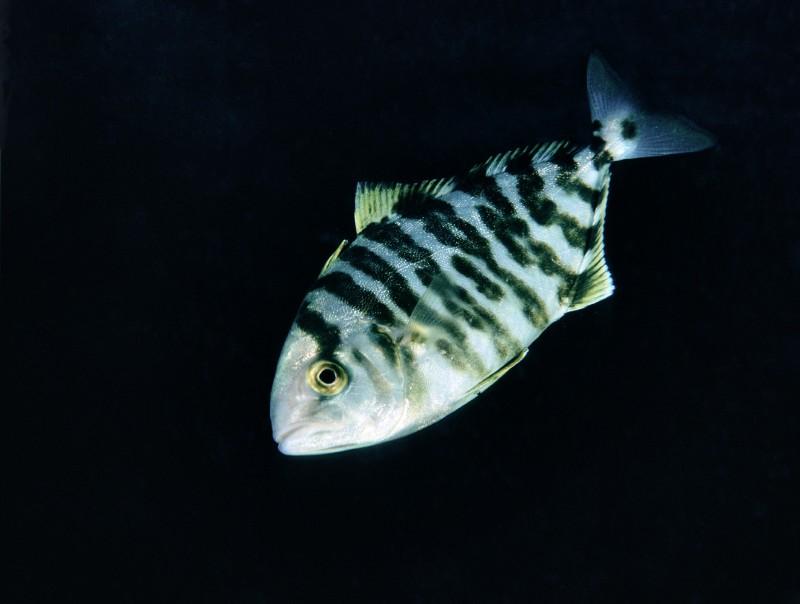 Riba - fanfan