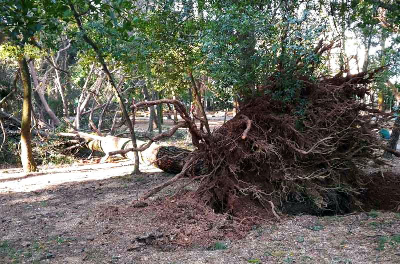 Srušeni bor u parku