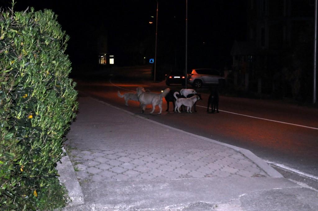 Čopor pasa blokira saobraćaj