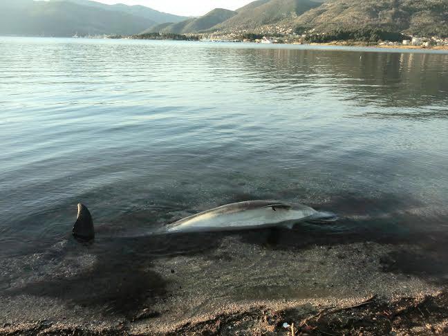 Uginuli delfin  - Foto Radio Tivat