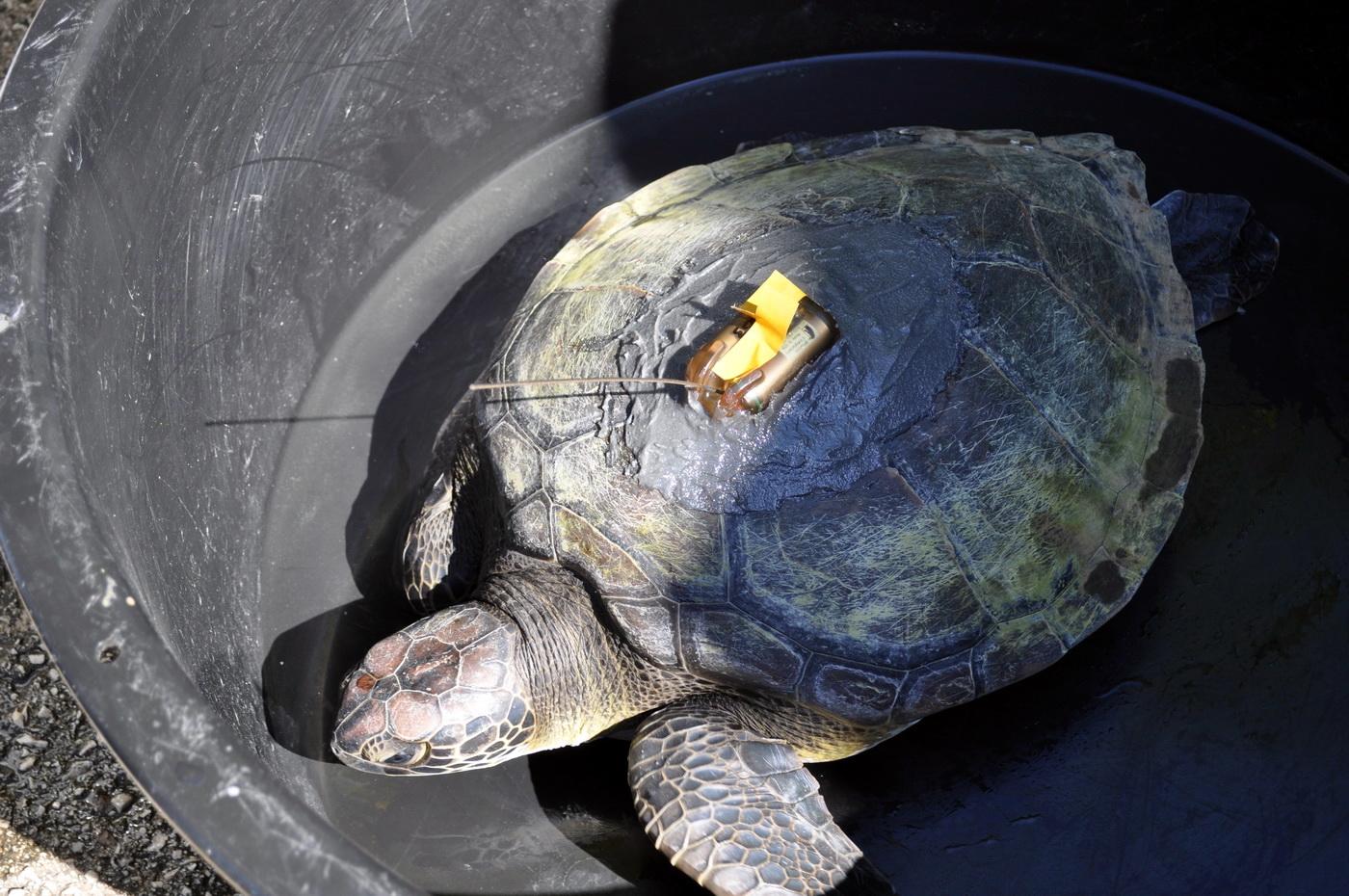 Morsak kornjača
