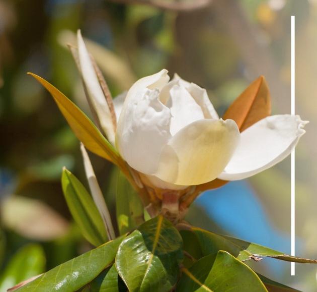 Turistički cvijet Tivat - Magnolija
