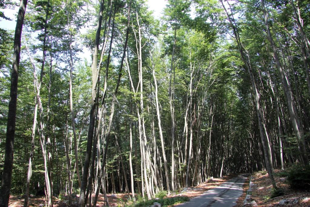 Šuma na Krivošijama - Foto montenegro-for.me
