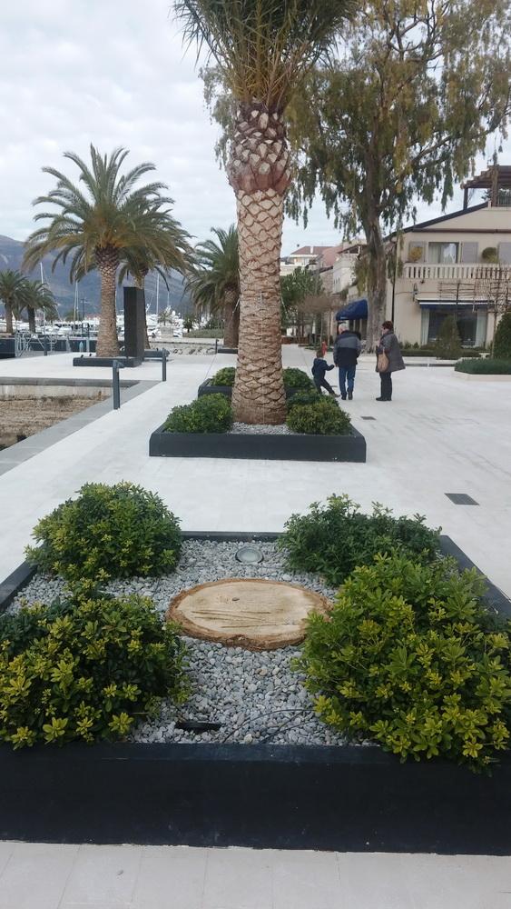 Ostaci jedne od posjecenih zarazenih palmi u Porto Montenegru