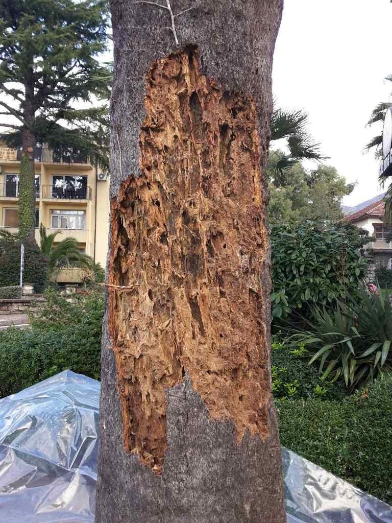 Posječena palma
