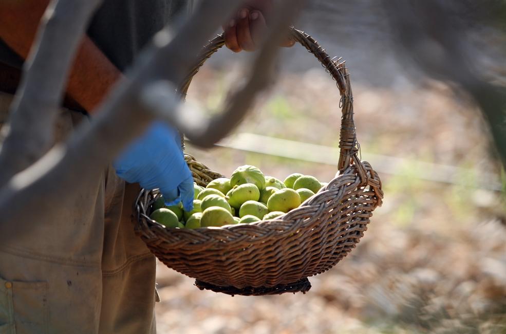 Trebinje: U aprilu prve sadnice smokve na najvećoj organskoj ...