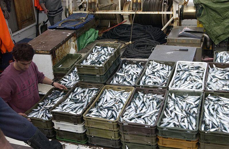 Riba - sardele