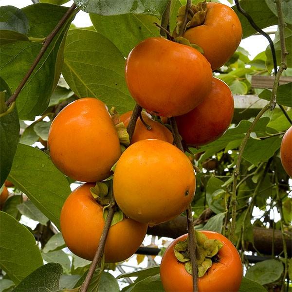 Japanska jabuka - Kaki