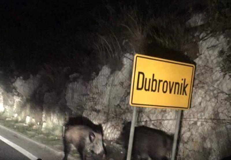 Divlja svinja-Dubrovnik
